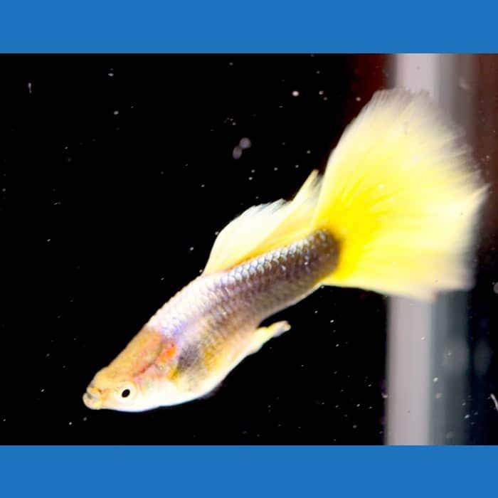 1/2 Black Yellow Guppy Pair