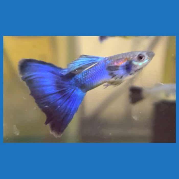 Japan Blue Blue Tail