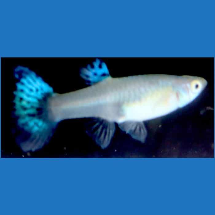 Blue Dragon Female