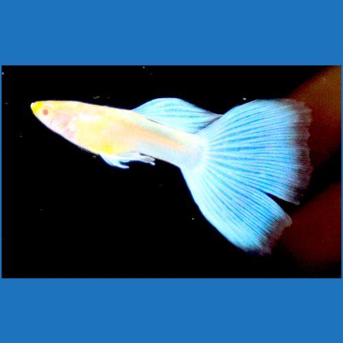 Albino Blue Topaz