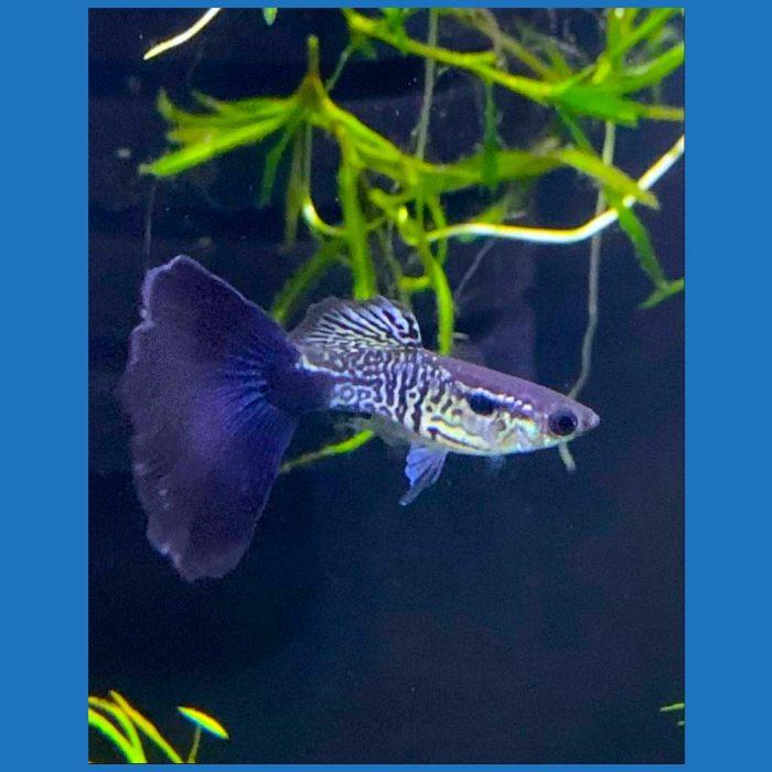 Blue Tail Snake Skin