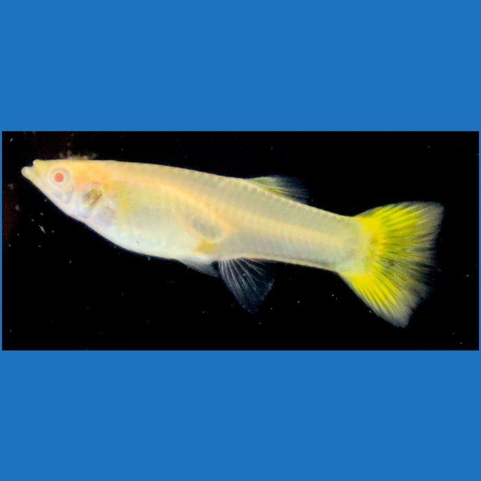 Female Albino Full Yellow Guppy