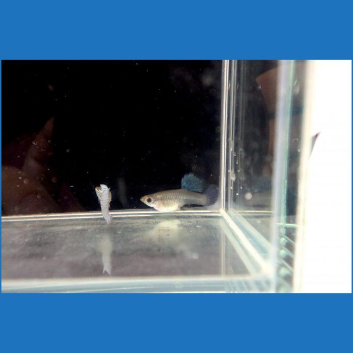 Female Blue Snakeskin Guppy
