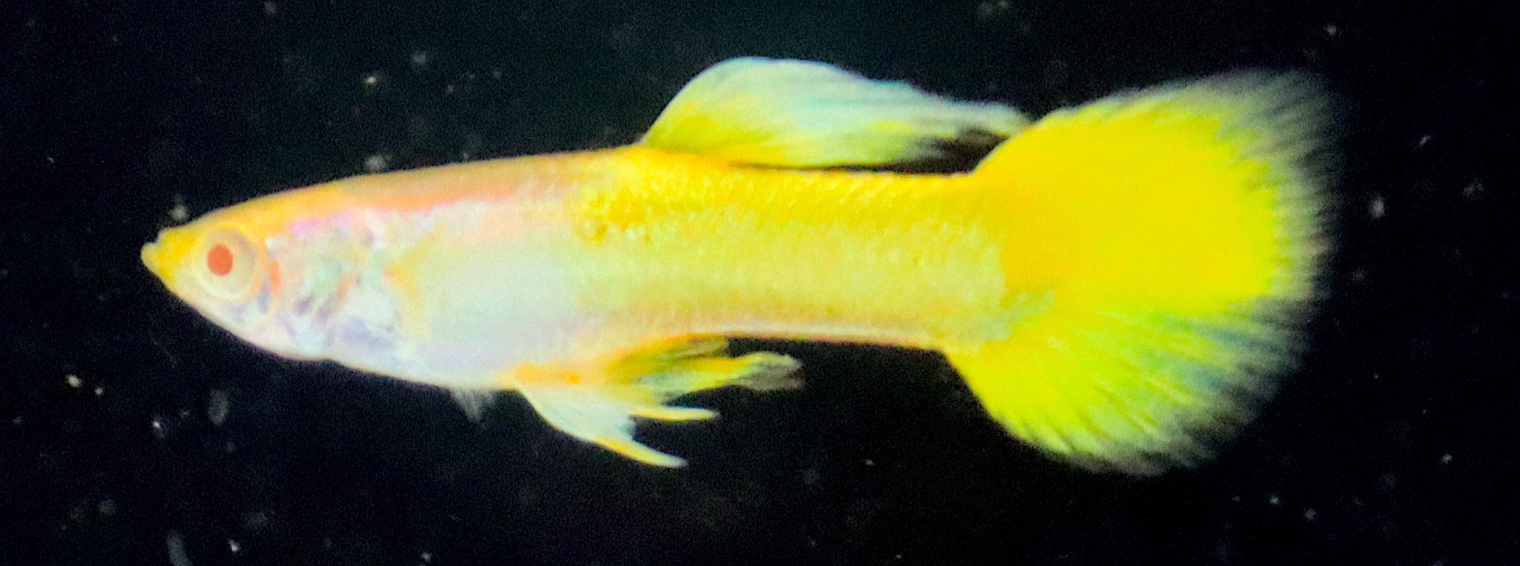 Albino Full Yellow Guppy