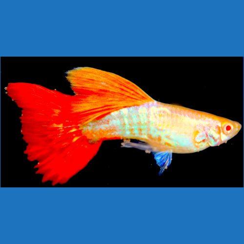 Albino Orange Lace Male