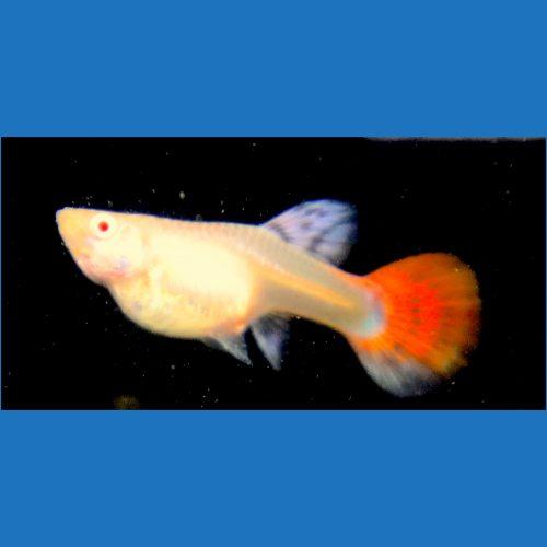 Albino Orange Lace